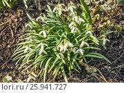 Купить «Подснежник, или Галантус ( Galánthus) весной в лесу», фото № 25941727, снято 6 апреля 2017 г. (c) Алёшина Оксана / Фотобанк Лори