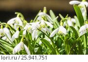 Купить «Подснежник, или Галантус ( Galánthus) весной», фото № 25941751, снято 6 апреля 2017 г. (c) Алёшина Оксана / Фотобанк Лори