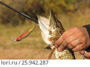 Купить «Ловля щуки спиннингом», фото № 25942287, снято 22 сентября 2014 г. (c) Юрий Фатеев / Фотобанк Лори