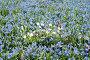 Первоцветы, голубые и белые весенние цветы на поляне ранней весной. Фокус на белых цветах, эксклюзивное фото № 25947123, снято 25 апреля 2017 г. (c) Svet / Фотобанк Лори