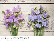 Купить «LATHYRUS ODORATUS 'WINTER SUNSHINE LAVENDER' AND 'WINTER SUNSHINE BLUE'», фото № 25972987, снято 23 апреля 2018 г. (c) age Fotostock / Фотобанк Лори