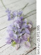 Купить «LATHYRUS ODORATUS 'BRISTOL'», фото № 25972995, снято 23 апреля 2018 г. (c) age Fotostock / Фотобанк Лори