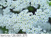 Белый цветущий куст. Стоковое фото, фотограф Ксения Ларкина / Фотобанк Лори