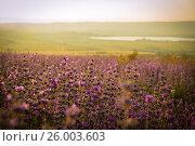 Лавандовое поле на закате. Стоковое фото, фотограф София Тюленева / Фотобанк Лори