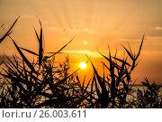 Силуэты камыша на фоне заходящего солнца. Стоковое фото, фотограф София Тюленева / Фотобанк Лори