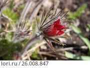 Купить «Сон-трава весной», эксклюзивное фото № 26008847, снято 16 апреля 2017 г. (c) Ната Антонова / Фотобанк Лори