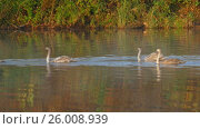 Купить «Family of white swans swims along autumn lake», видеоролик № 26008939, снято 7 апреля 2017 г. (c) Михаил Коханчиков / Фотобанк Лори