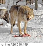 Купить «Старая волчица с мясом», фото № 26010499, снято 5 февраля 2017 г. (c) Валерия Попова / Фотобанк Лори