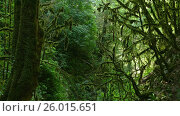 Moss-covered trees in boxwood grove Caucasus. Стоковое видео, видеограф Михаил Коханчиков / Фотобанк Лори