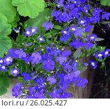 Мелкие цветки синей лобелии на фоне листьев герани. Стоковое фото, фотограф Елена Осетрова / Фотобанк Лори