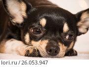 Dog breed Chihuahua. Стоковое фото, фотограф Галина Голубь / Фотобанк Лори