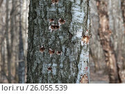 Купить «Ствол дерева со следами работы дятла», фото № 26055539, снято 11 апреля 2017 г. (c) Александр Курлович / Фотобанк Лори