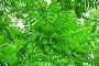 Листва ореха маньчжурского, или Ореха думбейского (Juglans mandshurica), фото № 26058423, снято 1 июля 2014 г. (c) Алёшина Оксана / Фотобанк Лори
