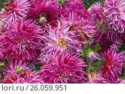 Куст с цветущими бутонами георгинов (Dahlia bush) Стоковое фото, фотограф Владимир Борисов / Фотобанк Лори