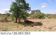 buffalo bulls gazing in savanna at africa. Стоковое видео, видеограф Syda Productions / Фотобанк Лори