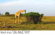 Купить «giraffe eating tree leaves in savanna at africa», видеоролик № 26062107, снято 4 апреля 2017 г. (c) Syda Productions / Фотобанк Лори