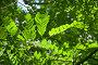 Робиния ложноакациевая (Robinia Pseudoacacia), фото № 26063943, снято 5 июня 2012 г. (c) Алёшина Оксана / Фотобанк Лори