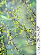 Молодые зеленые листики на ветках кустарника. Весенний фон, фото № 26076631, снято 25 апреля 2017 г. (c) Татьяна Белова / Фотобанк Лори