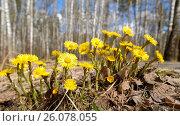 Купить «Весна в лесу. Мать-и-мачеха», фото № 26078055, снято 25 апреля 2017 г. (c) Юрий Пирогов / Фотобанк Лори