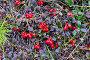 Спелая брусника, фото № 26087951, снято 15 августа 2015 г. (c) Сергей Дрозд / Фотобанк Лори