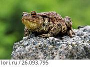 Купить «Макрос лягушки на камне», фото № 26093795, снято 18 июня 2011 г. (c) Geraldas Galinauskas / Фотобанк Лори