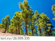 Купить «Tall pines», фото № 26099335, снято 16 февраля 2019 г. (c) easy Fotostock / Фотобанк Лори