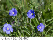 Купить «Flax in the Dobrudscha, Romania», фото № 26102467, снято 19 августа 2018 г. (c) easy Fotostock / Фотобанк Лори