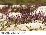 Купить «Ягель и вереск. Тундра летом», фото № 26117147, снято 17 августа 2011 г. (c) Юлия Бабкина / Фотобанк Лори