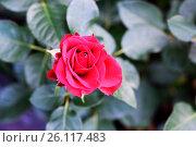 Купить «Красивый цветок на фоне природы», фото № 26117483, снято 19 марта 2014 г. (c) Сергеев Валерий / Фотобанк Лори