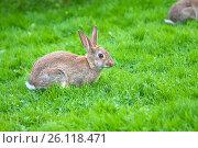 Купить «Заяц сидит на зеленом травяном газоне в парке», фото № 26118471, снято 10 августа 2015 г. (c) Наталья Николаева / Фотобанк Лори
