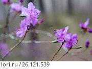 Цветущий багульник. Стоковое фото, фотограф Беляева Юлия / Фотобанк Лори
