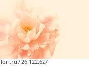 Нежный розовый цветочный фон с цветком пиона крупным планом. Место для текста. Стоковое фото, фотограф Galina Barbieri / Фотобанк Лори