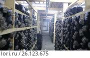 Купить «Выращивание грибов вешенка на ферме», видеоролик № 26123675, снято 20 сентября 2019 г. (c) Евгений Ткачёв / Фотобанк Лори