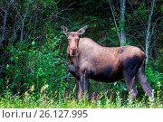 Купить «Moose», фото № 26127995, снято 24 августа 2019 г. (c) easy Fotostock / Фотобанк Лори