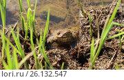 Купить «Лягушка на берегу реки», видеоролик № 26132547, снято 23 июля 2019 г. (c) Евгений Ткачёв / Фотобанк Лори