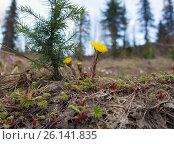 Цветы мать-и-мачехи на фоне леса. Стоковое фото, фотограф Светлана Попова / Фотобанк Лори