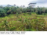 Купить «rice plantation terrace on Sri Lanka», фото № 26142107, снято 22 февраля 2015 г. (c) Syda Productions / Фотобанк Лори
