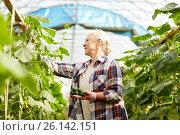 Купить «old woman picking cucumbers up at farm greenhouse», фото № 26142151, снято 25 августа 2016 г. (c) Syda Productions / Фотобанк Лори
