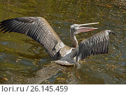 Купить «Dalmatian pelican (Pelecanus crispus). Wings», фото № 26145459, снято 30 апреля 2017 г. (c) Валерия Попова / Фотобанк Лори