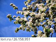 Цветение яблони. Стоковое фото, фотограф Карданов Олег / Фотобанк Лори