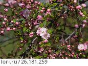 Цветущая сакура. Стоковое фото, фотограф Dan / Фотобанк Лори