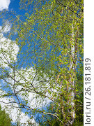 Ветки березы на ветру на фоне неба, фото № 26181819, снято 4 мая 2017 г. (c) Татьяна Белова / Фотобанк Лори