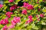 Красивое экзотическое дерево с цветами, фото № 26182799, снято 22 мая 2017 г. (c) Марина Володько / Фотобанк Лори