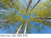 Thin trunks of silver birches with fresh green foliage against the background of the blue sky, фото № 26184315, снято 3 мая 2017 г. (c) Anatoly Timofeev / Фотобанк Лори