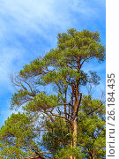 An old, tall, green pine tree with cones on a background of a vivid blue cloudy sky. Стоковое фото, фотограф Ольга Соловьева / Фотобанк Лори