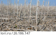 Купить «Ecology. Spring unplowed field with dry stems left after last year's harvesting of sunflower.», видеоролик № 26186147, снято 19 сентября 2018 г. (c) Константин Мерцалов / Фотобанк Лори