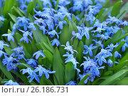 Купить «Цветущая пролеска сибирская», эксклюзивное фото № 26186731, снято 2 мая 2017 г. (c) Dmitry29 / Фотобанк Лори