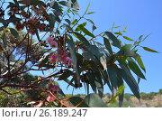 Ветви с цветками эвкалипта на фоне голубого неба. Стоковое фото, фотограф Татьяна Никитина / Фотобанк Лори