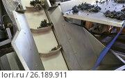 The harvest of grapes on the sorting conveyor. Стоковое видео, видеограф Яков Филимонов / Фотобанк Лори