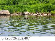 Утки на реке Чусовая. Стоковое фото, фотограф Александр Агафонов / Фотобанк Лори